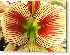 Butterfly Amaryllis Acrylic Print by Tanya Moody