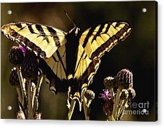 Acrylic Print featuring the photograph Butterfly And Thistle II by Angelique Olin