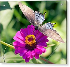 Acrylic Print featuring the photograph Butterfly  by Anna Rumiantseva