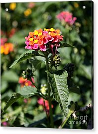 Butterfly Bush Acrylic Print by Elizabeth Coats