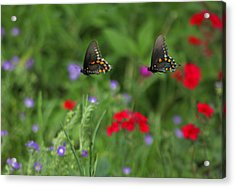 Butterfly Chase Acrylic Print