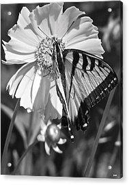 Butterfly Collection Black White Acrylic Print by Debra     Vatalaro