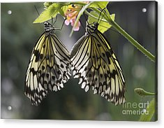 Acrylic Print featuring the photograph Butterfly Duo by Eunice Gibb