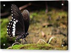 Acrylic Print featuring the photograph Butterfly Feeding  by Ramabhadran Thirupattur