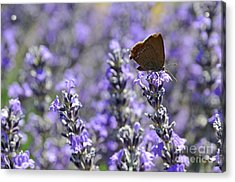 Butterfly Gathering Nectar From Lavender Flowers Acrylic Print by Sami Sarkis