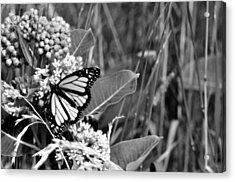 Butterfly In Black Acrylic Print by Helen Haw