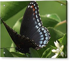 Butterfly Acrylic Print by Katherine Woods
