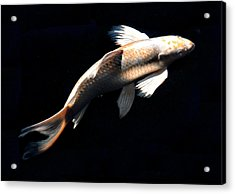 Butterfly Koi In Flight Acrylic Print
