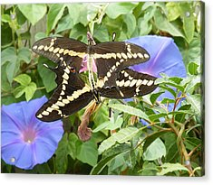 Butterfly Love Acrylic Print by Claire Plowman