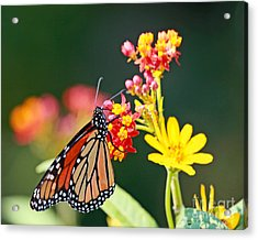 Butterfly Monarch On Lantana Flower Acrylic Print