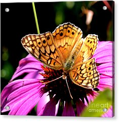 Butterfly On Coneflower-05 Acrylic Print by Eva Thomas