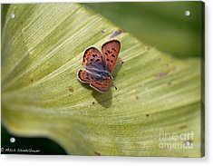 Acrylic Print featuring the photograph Butterfly On Cornflower Leaf by Mitch Shindelbower