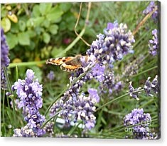 Butterfly On Lavendula Acrylic Print