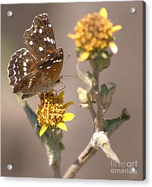 Acrylic Print featuring the digital art Butterfly On Marigold 1 by John  Kolenberg