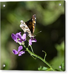 Butterfly On Phlox Bloom Acrylic Print