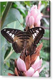 Butterfly Pavilion1 Acrylic Print