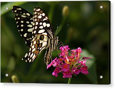 Acrylic Print featuring the photograph Butterfly by Ramabhadran Thirupattur