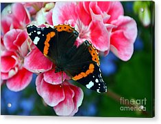 Butterfly Red Admiral Acrylic Print