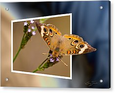 Butterfly Stepping Out Acrylic Print by Barry Jones