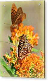 Butterfly Weed 2 Acrylic Print by Marty Koch