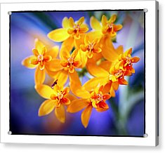 Acrylic Print featuring the photograph Butterfly Weed by Judi Bagwell