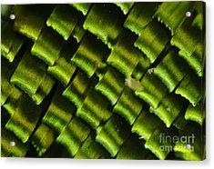 Butterfly Wing Scales Acrylic Print by Raul Gonzalez Perez