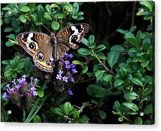 Butterfly With Torn Wings Acrylic Print by Robert Ullmann