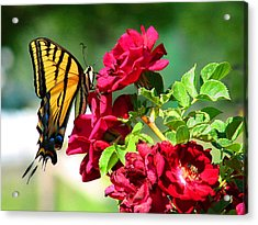 Butterflyrose Acrylic Print