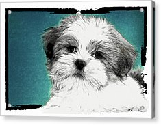 Button Nose Acrylic Print by Tilly Williams
