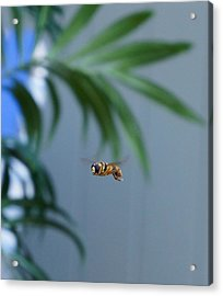 Buzz Of The Hover Fly Acrylic Print