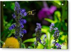 Buzzing Around Acrylic Print by Shannon Harrington