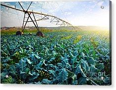 Cabbage Growth Acrylic Print by Carlos Caetano