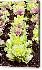 Cabbages Acrylic Print by Tom Gowanlock
