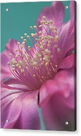 Cactus Flower Acrylic Print by Images by Patti-Jo