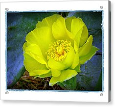 Acrylic Print featuring the photograph Cactus Flower by Judi Bagwell