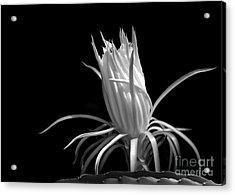 Cactus Flower Acrylic Print by Sabrina L Ryan
