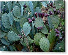 Acrylic Print featuring the photograph Cactus Plants by Maria Urso