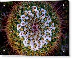 Cactus Radiance Acrylic Print by Vicki Pelham