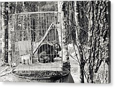 Caged Rabbit Acrylic Print by Floyd Smith