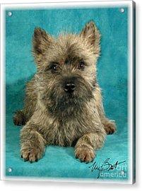 Cairn Terrier Pup Acrylic Print by Maxine Bochnia