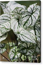 Caladium Named White Christmas Acrylic Print by J McCombie