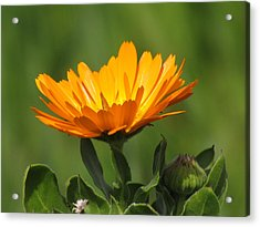 Calendula Bloom Acrylic Print by Bonnie Muir