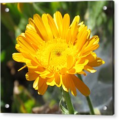 Acrylic Print featuring the photograph Calendula Blossom by Bonnie Muir