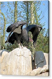 Acrylic Print featuring the photograph California Condor by Carla Parris