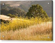 California Mustard Fields Acrylic Print by Matt Tilghman