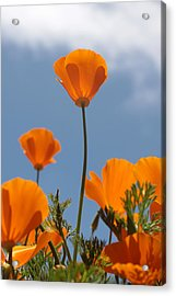 California Poppies Acrylic Print by Denice Breaux