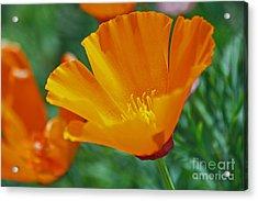 California Poppy Acrylic Print by Morgan Wright