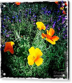 Acrylic Print featuring the photograph California Poppy by Nina Prommer
