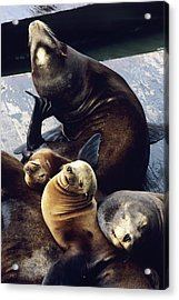 California Sea Lions Acrylic Print by Alan Sirulnikoff