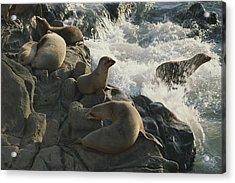 California Sea Lions Bask On San Miguel Acrylic Print by James A. Sugar